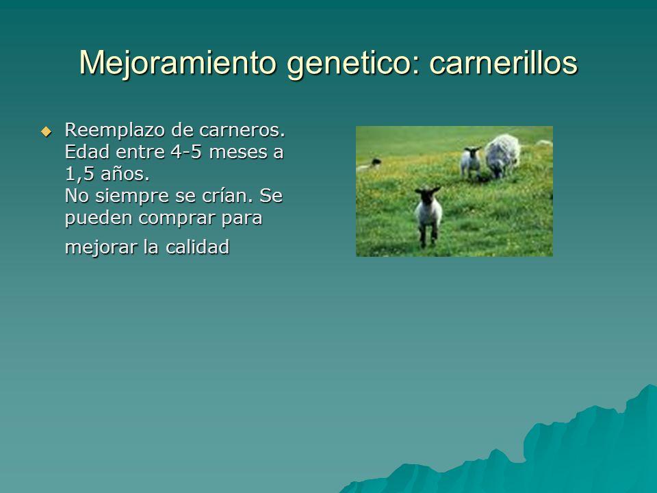 Mejoramiento genetico: carnerillos