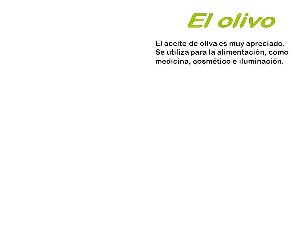 El olivo El aceite de oliva es muy apreciado.