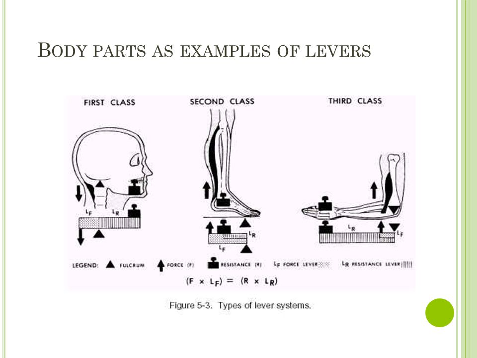 Body parts as examples of levers