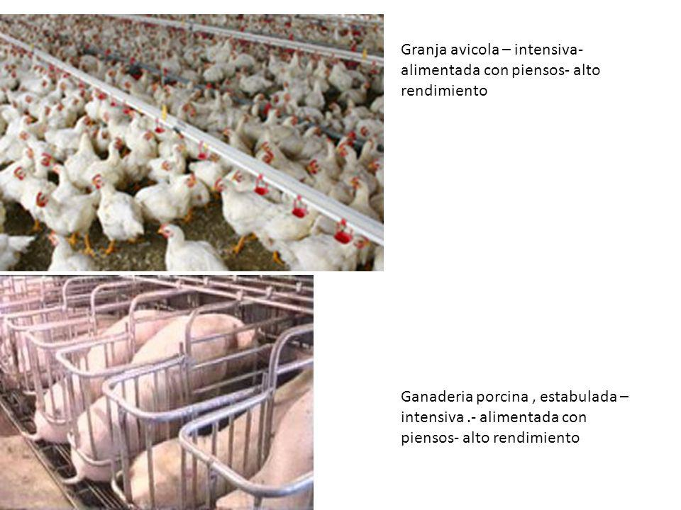 Granja avicola – intensiva- alimentada con piensos- alto rendimiento