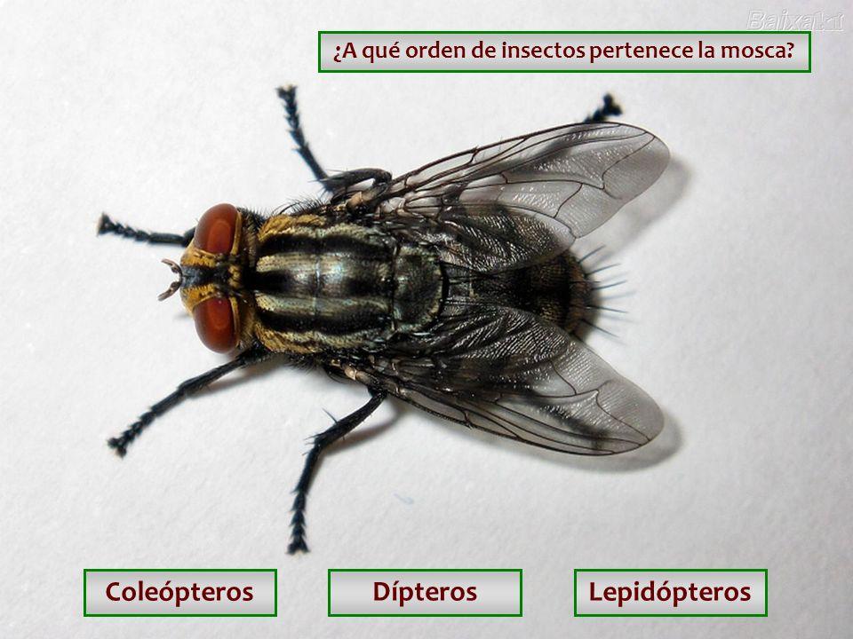 ¿A qué orden de insectos pertenece la mosca
