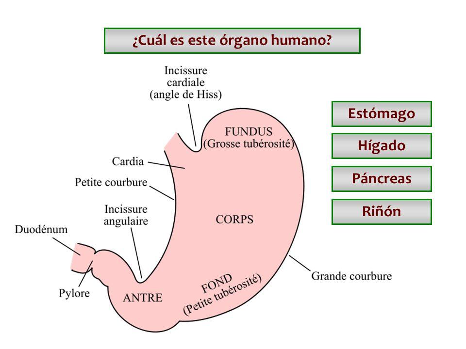 ¿Cuál es este órgano humano