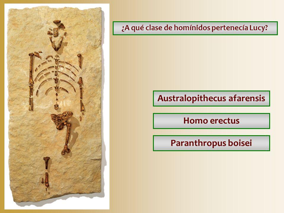 ¿A qué clase de homínidos pertenecía Lucy Australopithecus afarensis