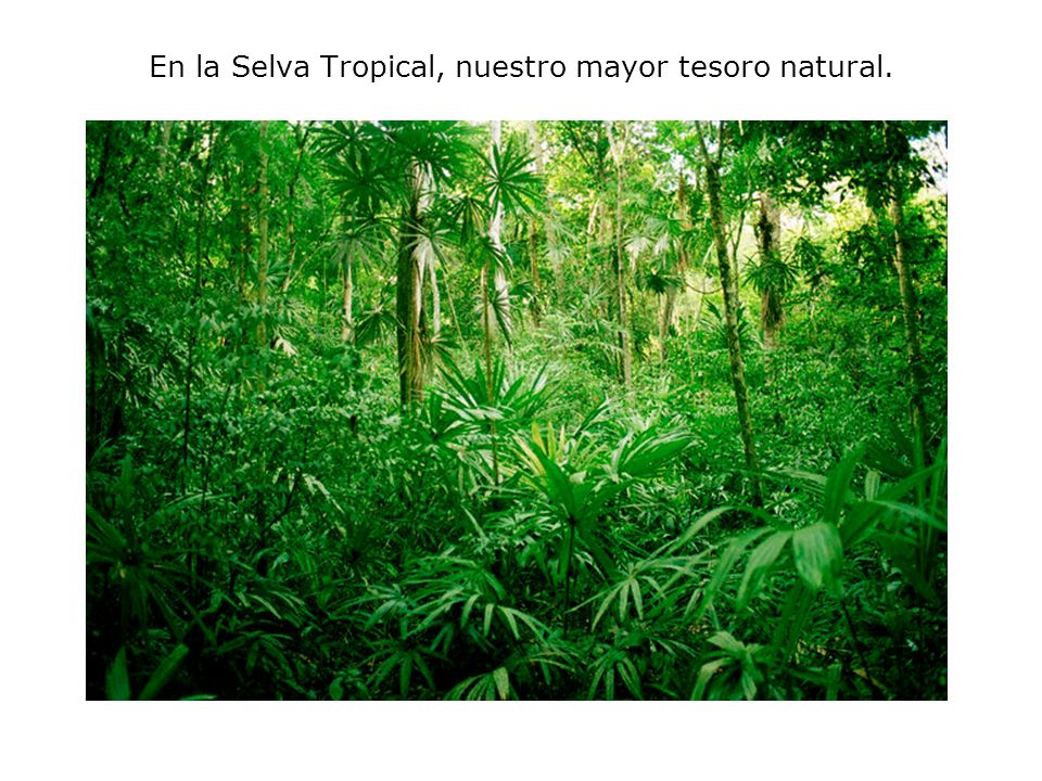 En la Selva Tropical, nuestro mayor tesoro natural.
