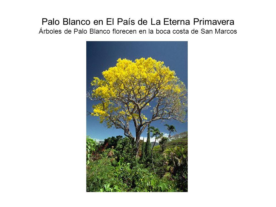 Palo Blanco en El País de La Eterna Primavera Árboles de Palo Blanco florecen en la boca costa de San Marcos