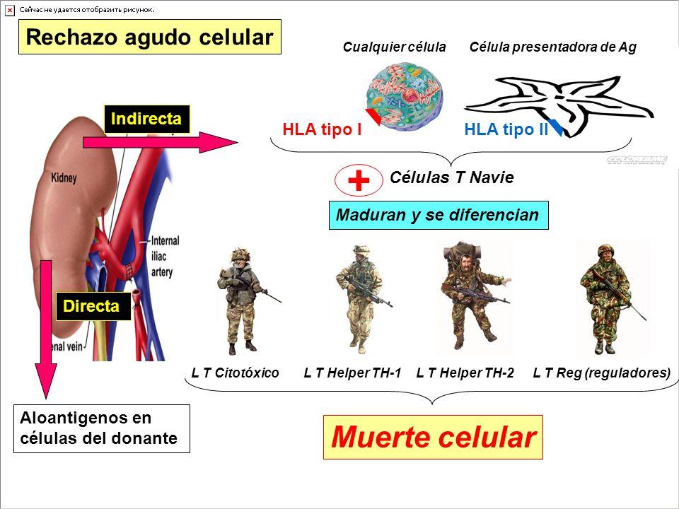+ Muerte celular Rechazo agudo celular Indirecta HLA tipo I