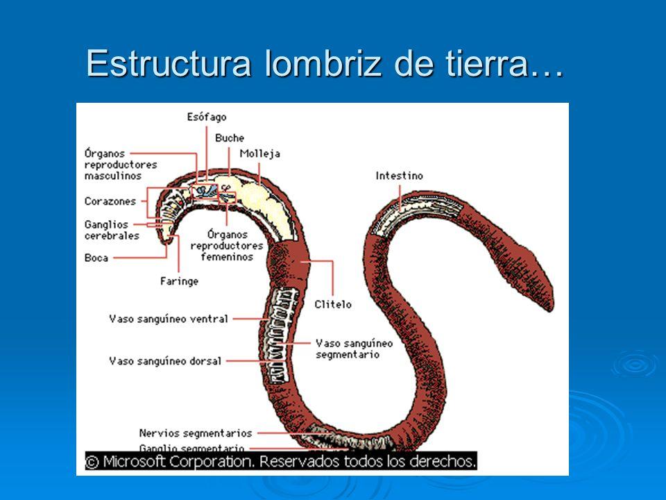 Hermosa Anatomía Interna Lombriz De Tierra Inspiración - Anatomía de ...