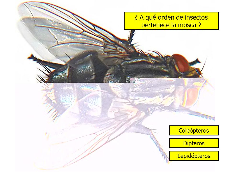 ¿ A qué orden de insectos pertenece la mosca