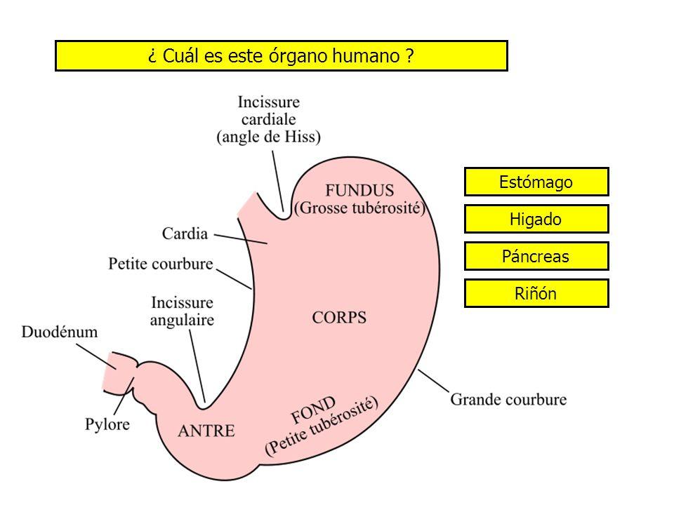 ¿ Cuál es este órgano humano