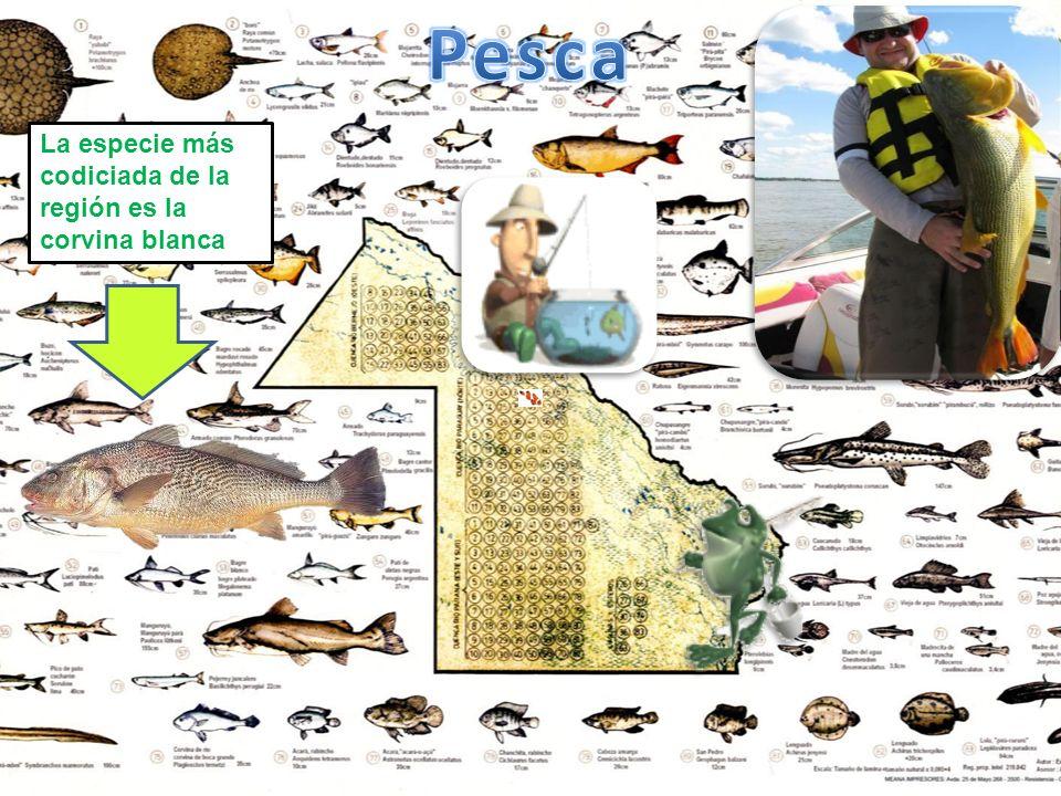 Pesca La especie más codiciada de la región es la corvina blanca