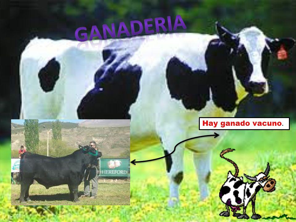 ganaderia Hay ganado vacuno.