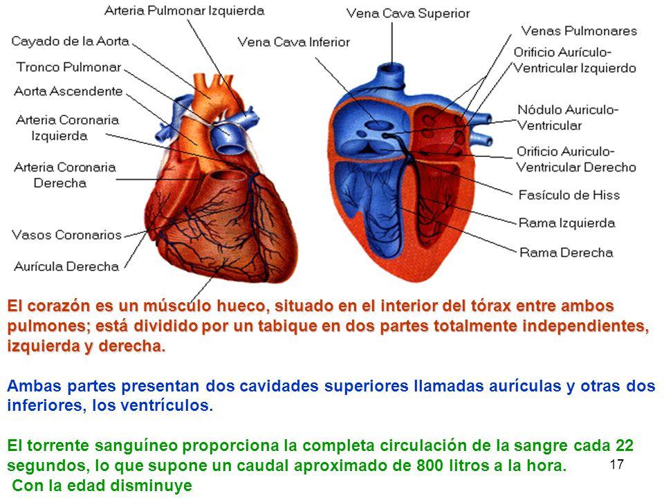 El corazón es un músculo hueco, situado en el interior del tórax entre ambos pulmones; está dividido por un tabique en dos partes totalmente independientes, izquierda y derecha.