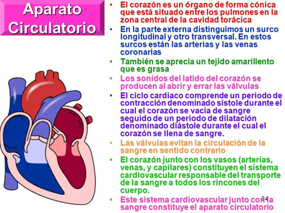 Aparato Circulatorio El corazón es un órgano de forma cónica que está situado entre los pulmones en la zona central de la cavidad torácica.