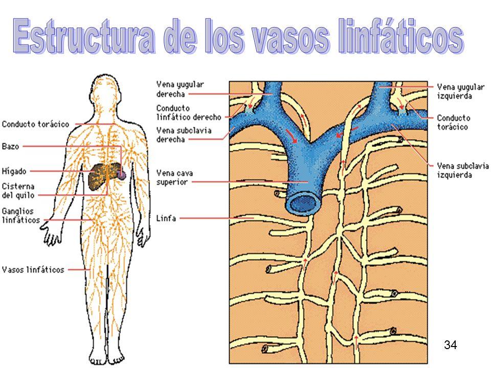 Estructura de los vasos linfáticos