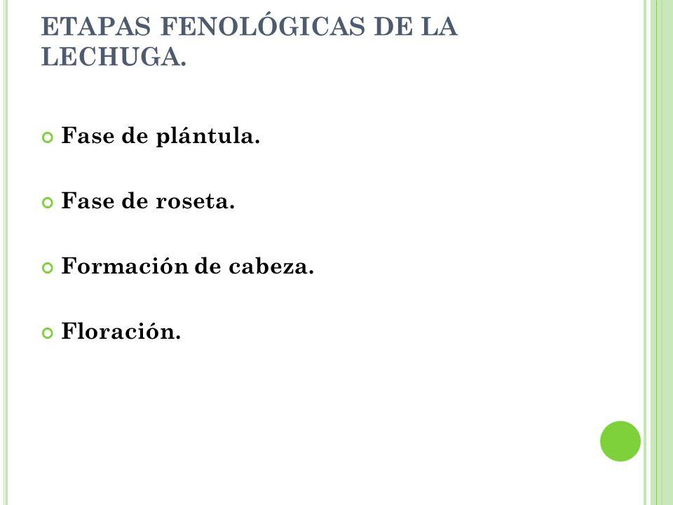 ETAPAS FENOLÓGICAS DE LA LECHUGA.