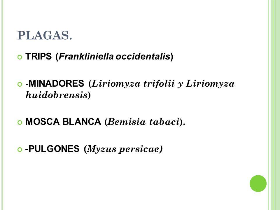 PLAGAS. TRIPS (Frankliniella occidentalis)