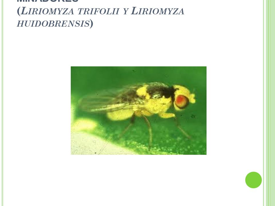 - MINADORES (Liriomyza trifolii y Liriomyza huidobrensis)