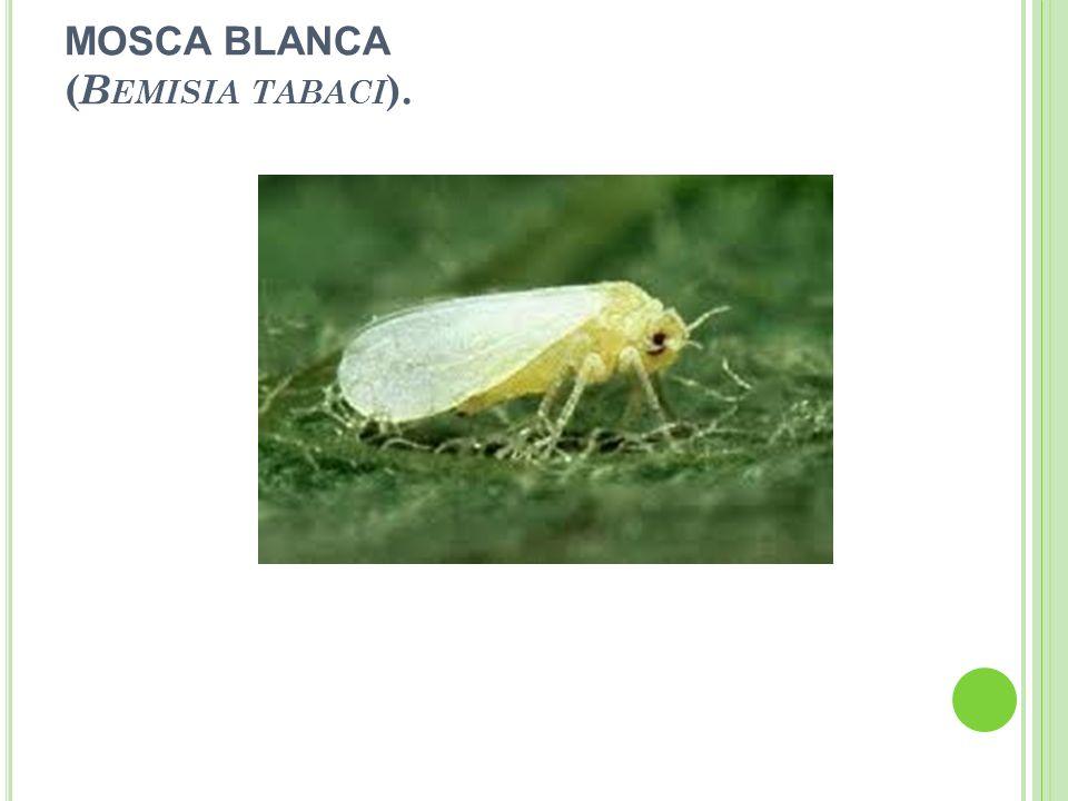 MOSCA BLANCA (Bemisia tabaci).