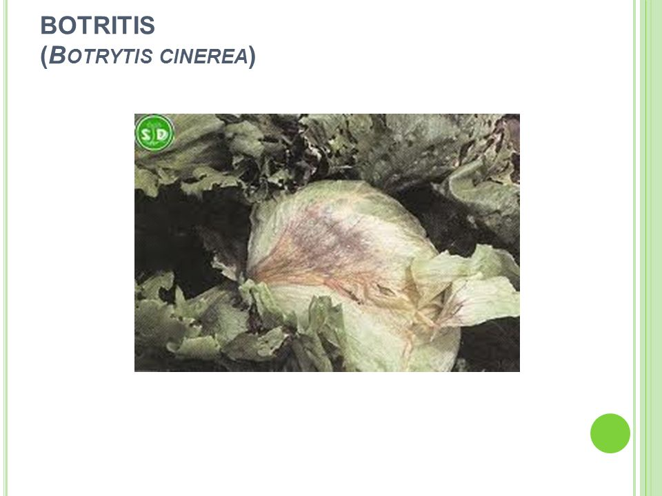 BOTRITIS (Botrytis cinerea)