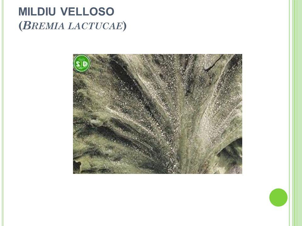 MILDIU VELLOSO (Bremia lactucae)