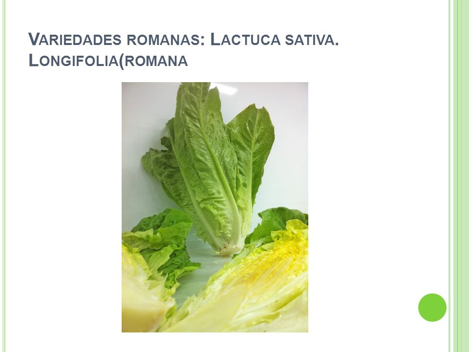 Variedades romanas: Lactuca sativa. Longifolia(romana