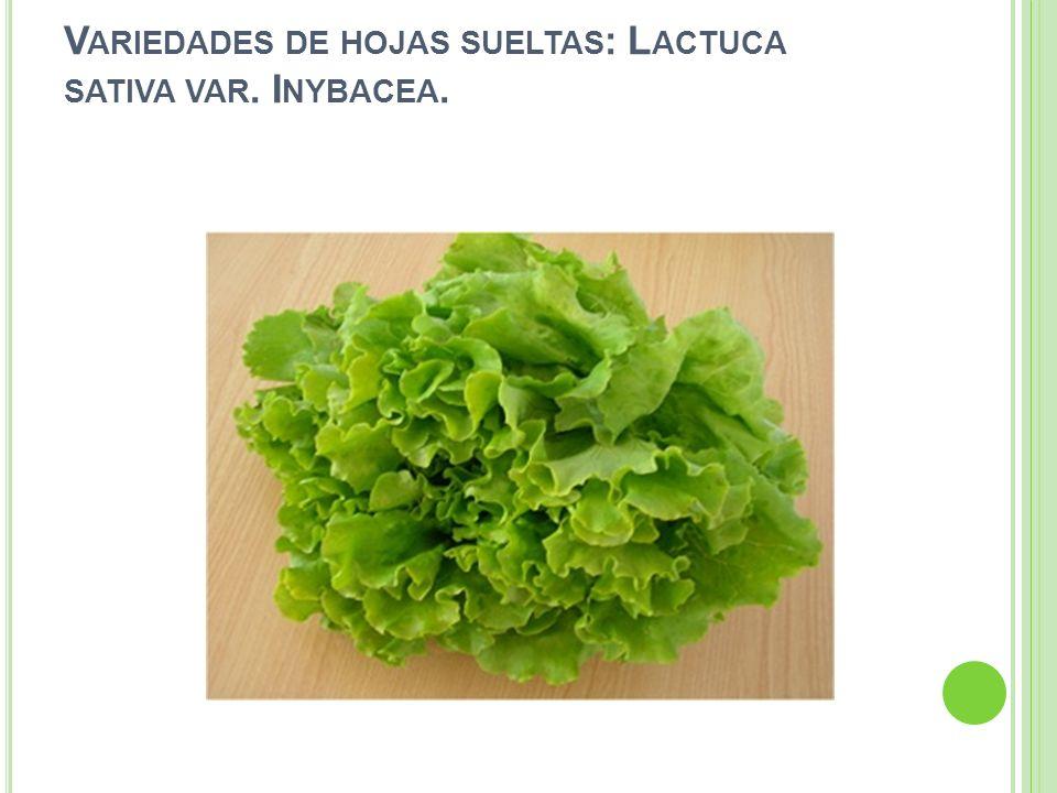 Variedades de hojas sueltas: Lactuca sativa var. Inybacea.