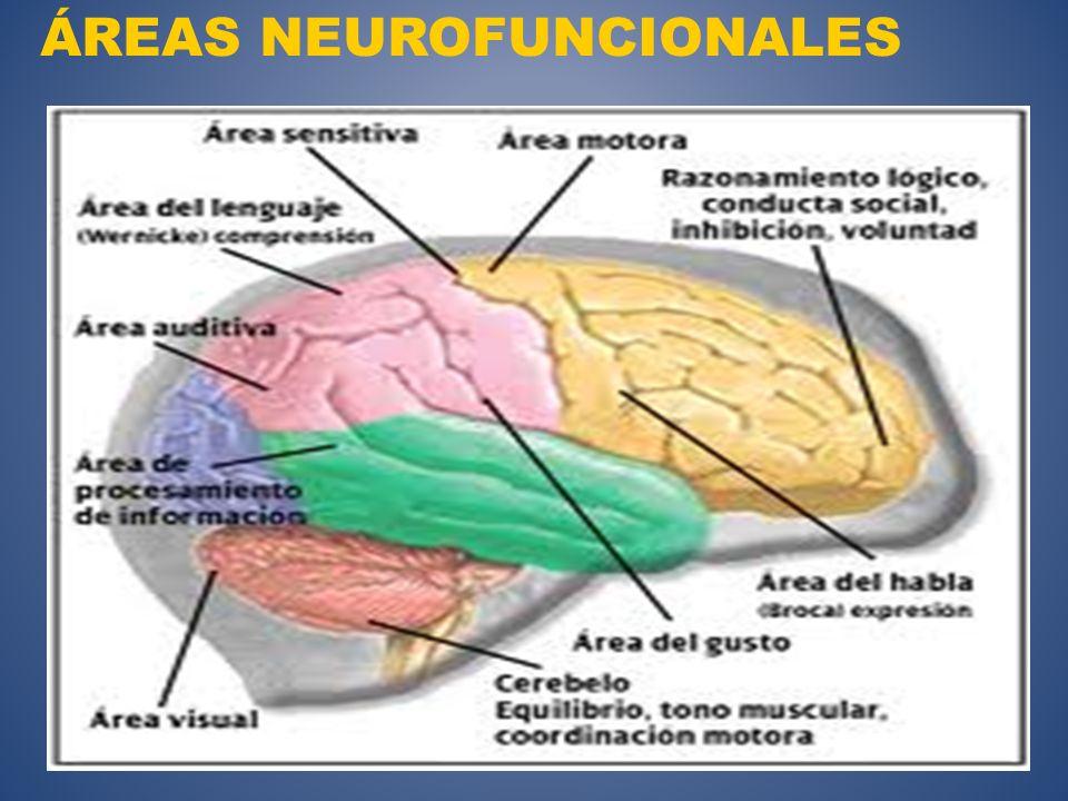 ÁREAS NEUROFUNCIONALES
