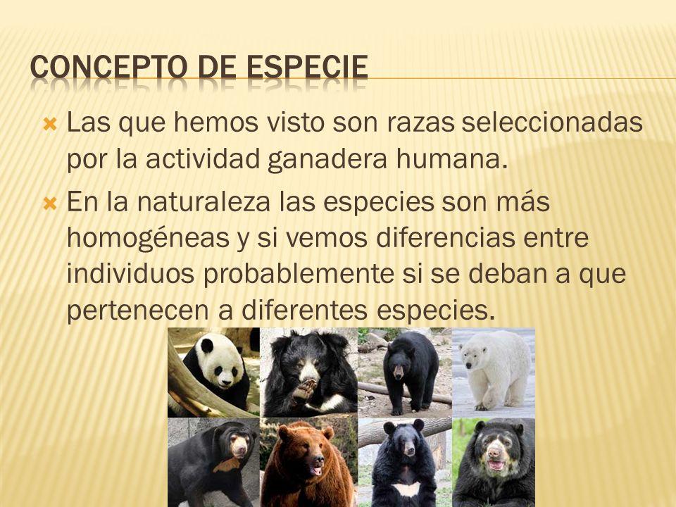 CONCEPTO DE ESPECIE Las que hemos visto son razas seleccionadas por la actividad ganadera humana.