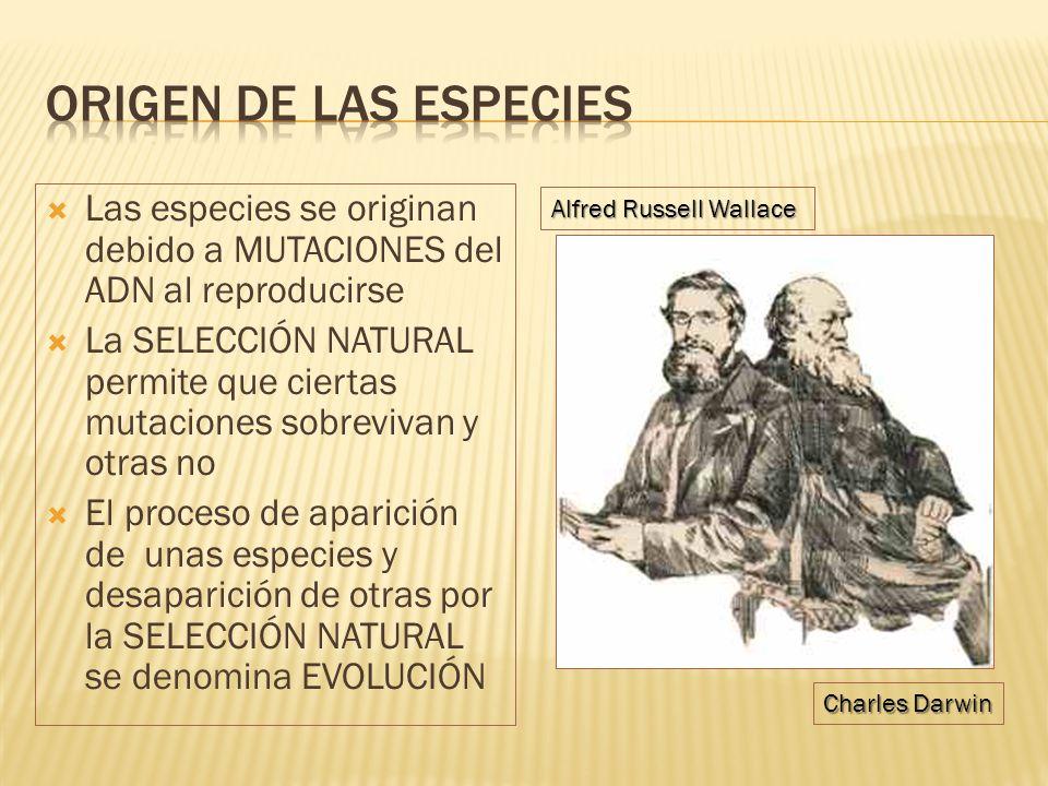 Origen de las especies Las especies se originan debido a MUTACIONES del ADN al reproducirse.