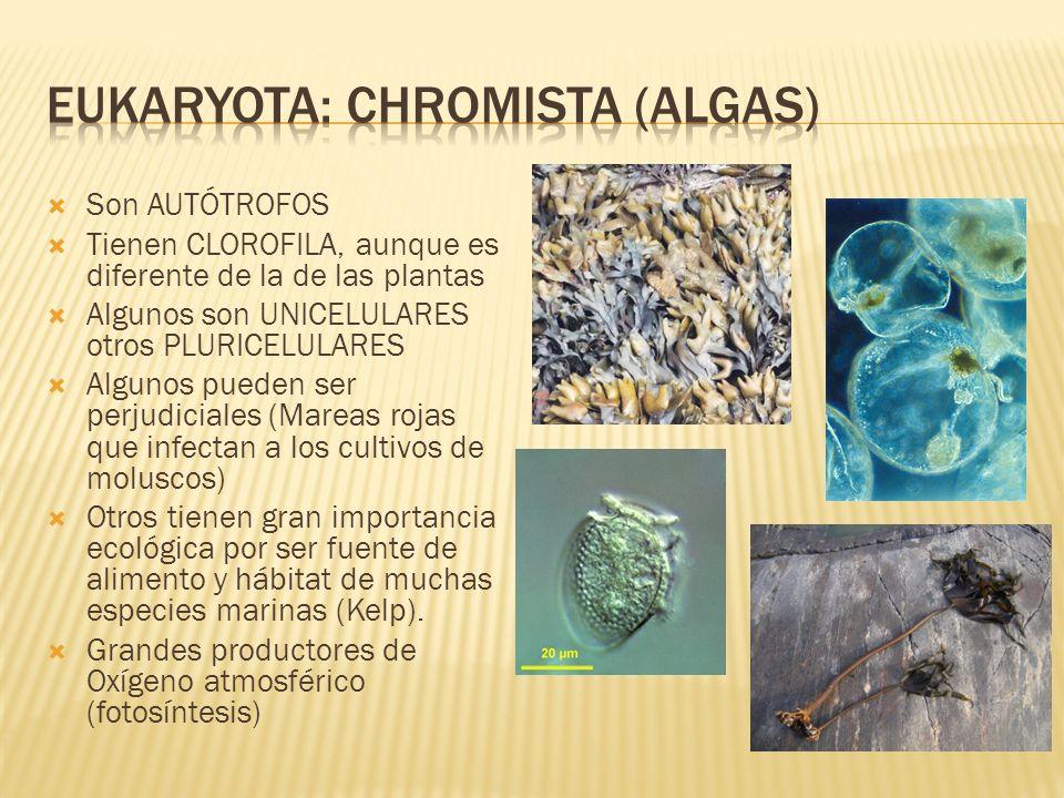 Eukaryota: chromista (algas)