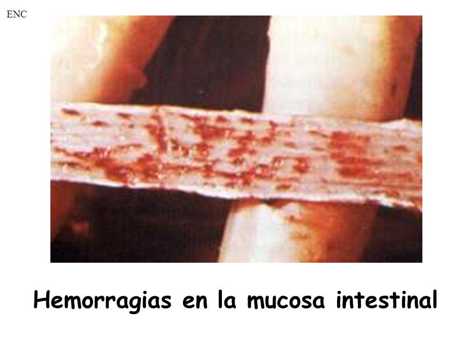 Hemorragias en la mucosa intestinal