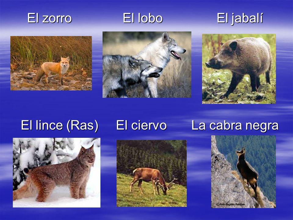 El zorro El lobo El jabalí