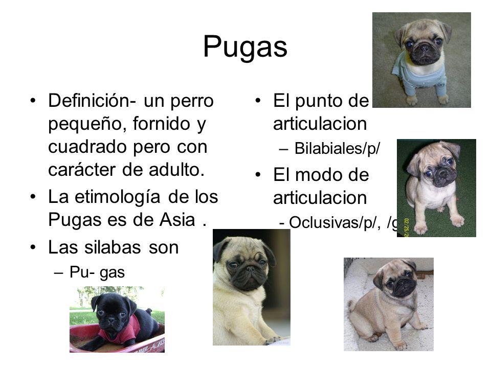 Pugas Definición- un perro pequeño, fornido y cuadrado pero con carácter de adulto. La etimología de los Pugas es de Asia .
