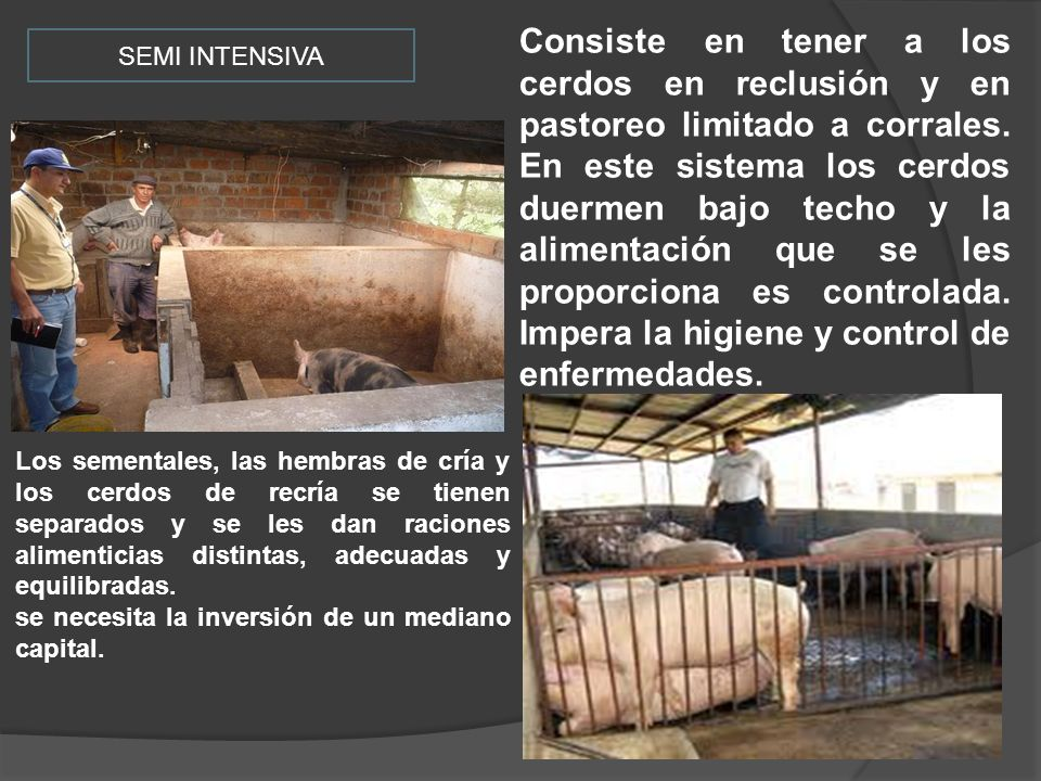 Consiste en tener a los cerdos en reclusión y en pastoreo limitado a corrales. En este sistema los cerdos duermen bajo techo y la alimentación que se les proporciona es controlada. Impera la higiene y control de enfermedades.