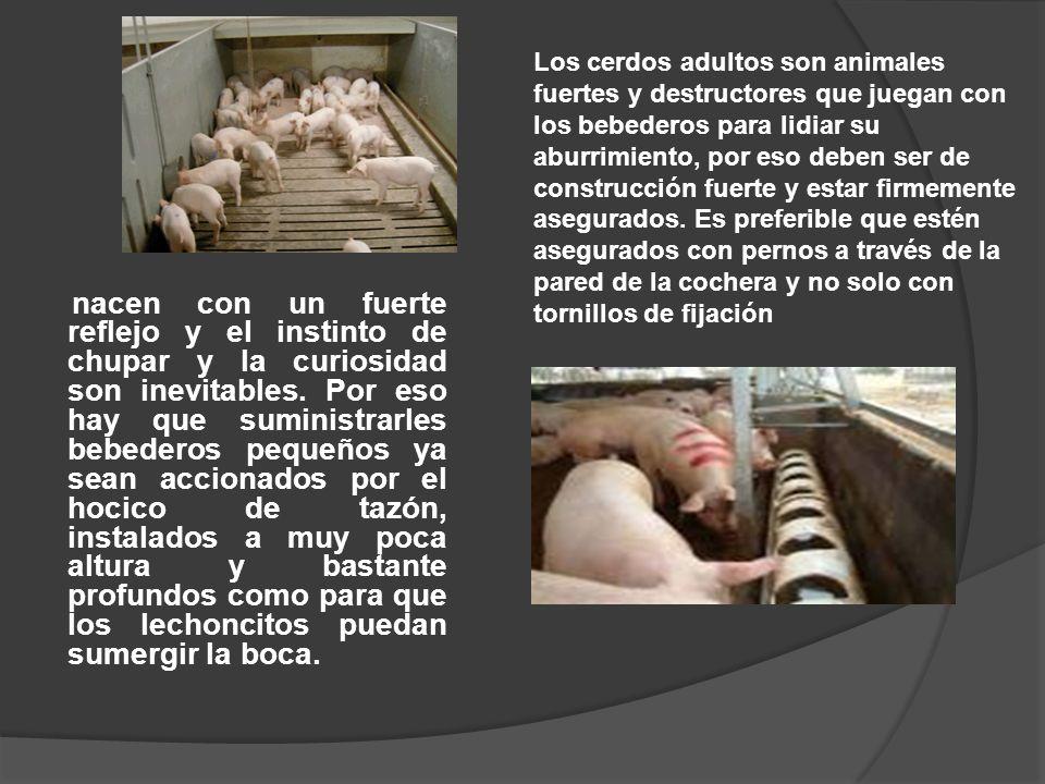 Los cerdos adultos son animales fuertes y destructores que juegan con los bebederos para lidiar su aburrimiento, por eso deben ser de construcción fuerte y estar firmemente asegurados. Es preferible que estén asegurados con pernos a través de la pared de la cochera y no solo con tornillos de fijación