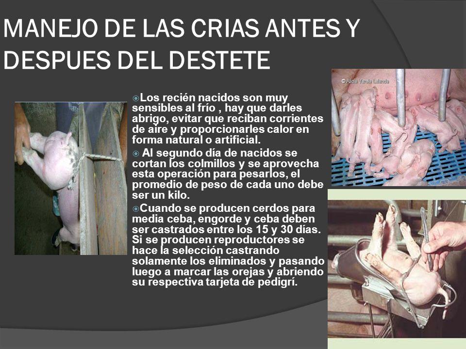 MANEJO DE LAS CRIAS ANTES Y DESPUES DEL DESTETE