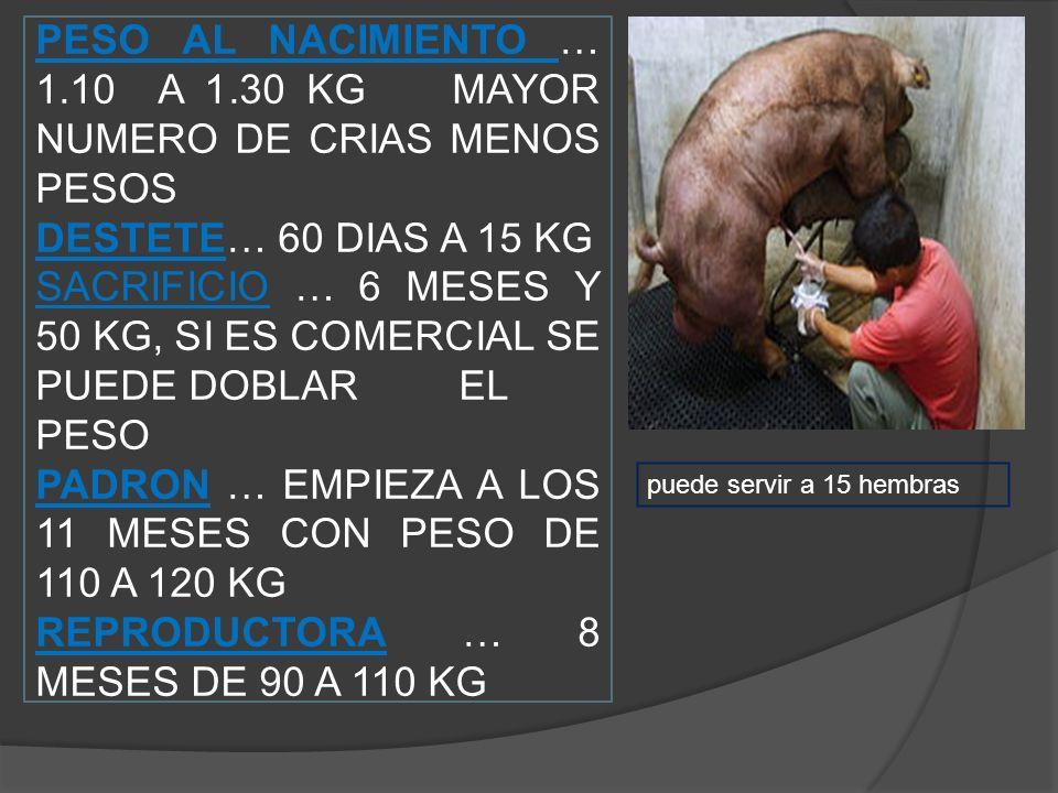 PESO AL NACIMIENTO … 1.10 A 1.30 KG MAYOR NUMERO DE CRIAS MENOS PESOS