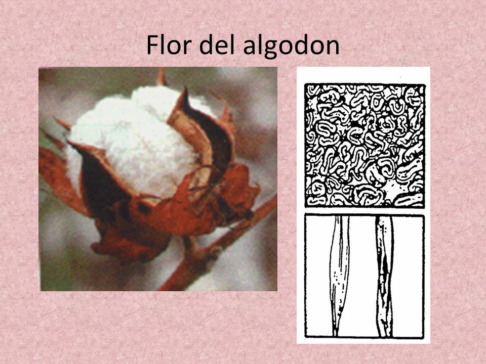 Flor del algodon