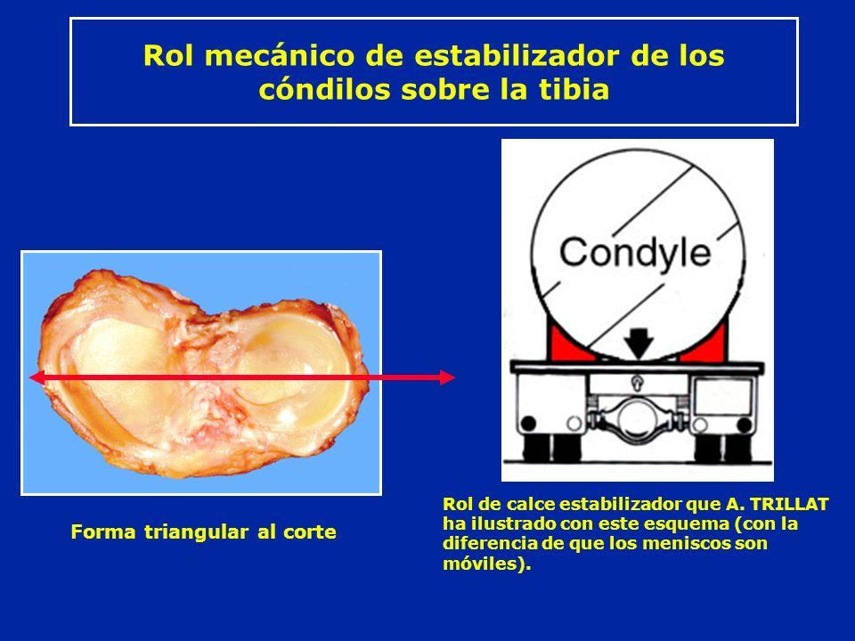 Rol mecánico de estabilizador de los cóndilos sobre la tibia