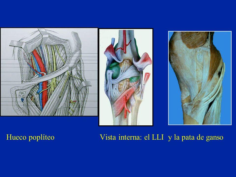 Hueco poplíteo Vista interna: el LLI y la pata de ganso