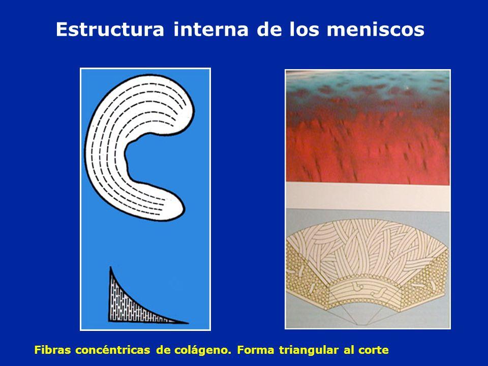 Estructura interna de los meniscos