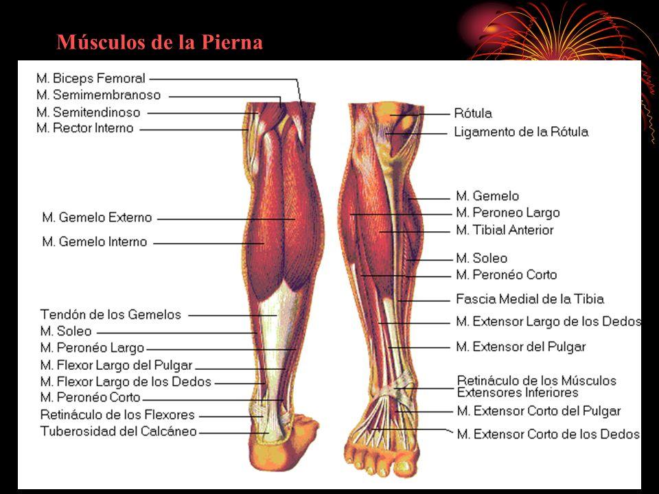 Dorable Músculos De La Pierna Imagen - Anatomía de Las Imágenesdel ...