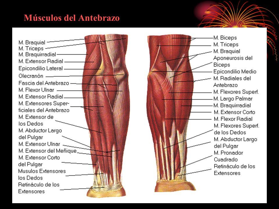 Contemporáneo Músculos Del Antebrazo Ideas - Imágenes de Anatomía ...