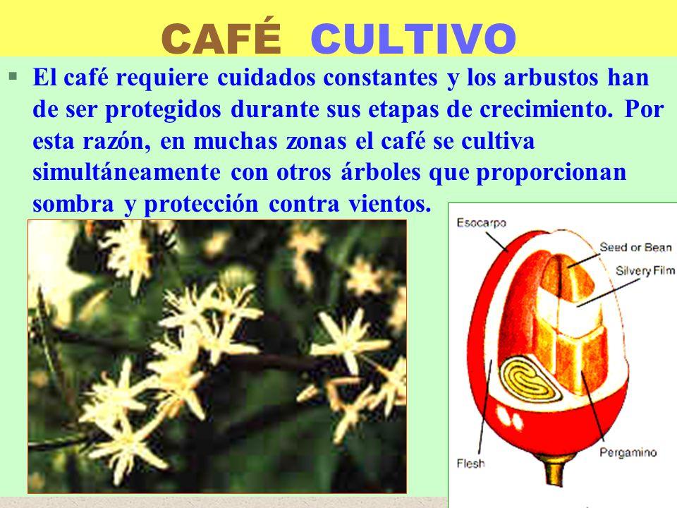 CAFÉ CULTIVO