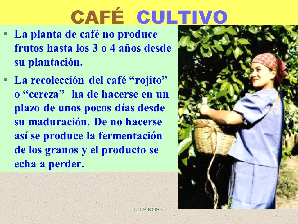 CAFÉ CULTIVO La planta de café no produce frutos hasta los 3 o 4 años desde su plantación.