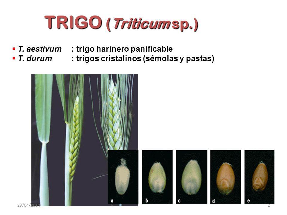 TRIGO (Triticum sp.) T. aestivum : trigo harinero panificable