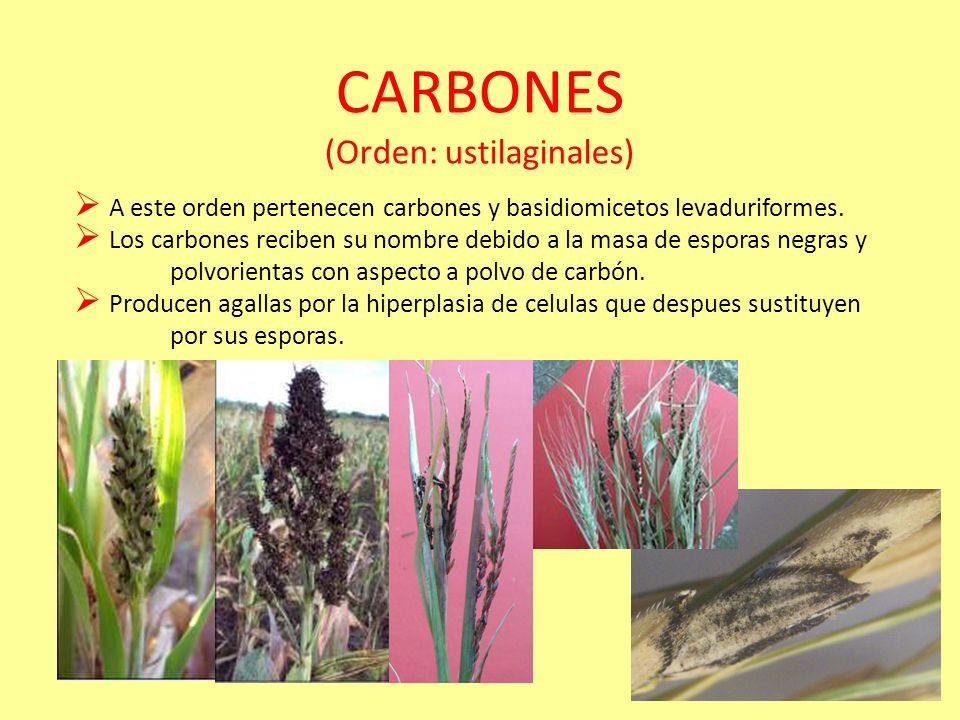 CARBONES (Orden: ustilaginales)