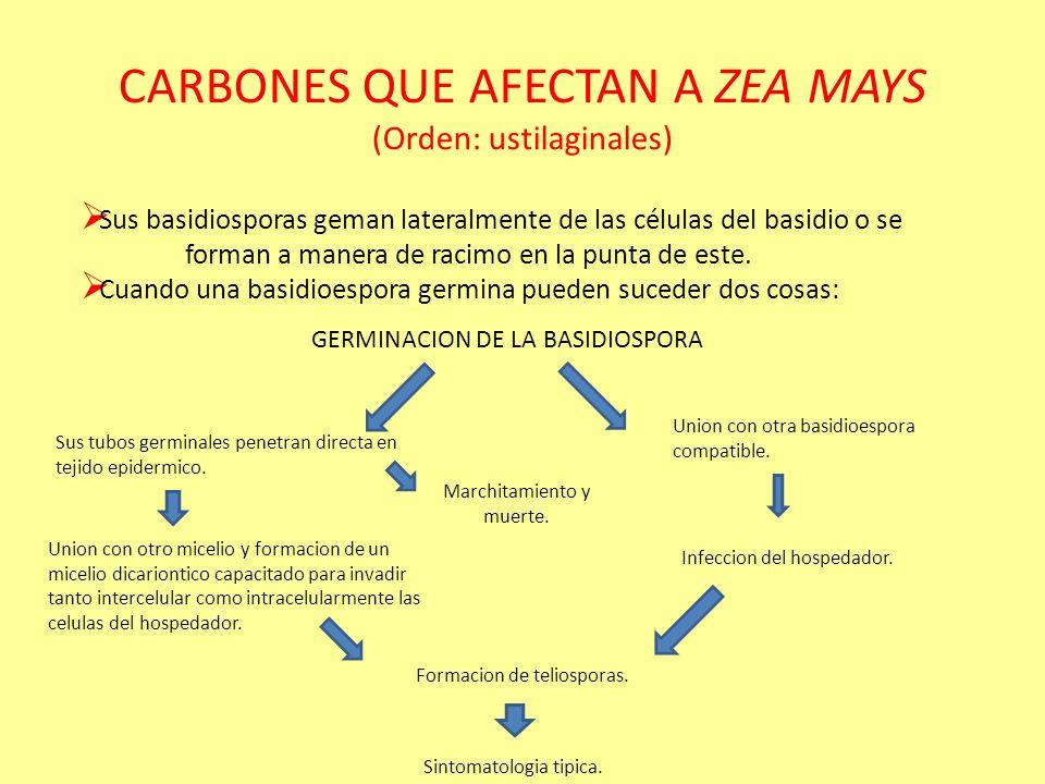 CARBONES QUE AFECTAN A ZEA MAYS (Orden: ustilaginales)
