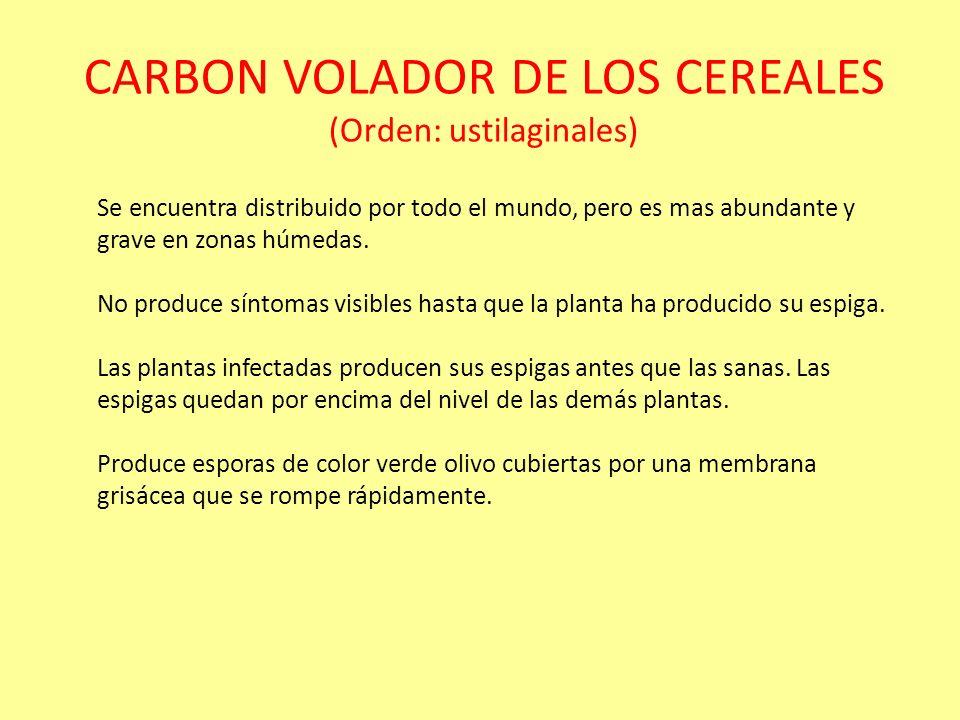 CARBON VOLADOR DE LOS CEREALES (Orden: ustilaginales)