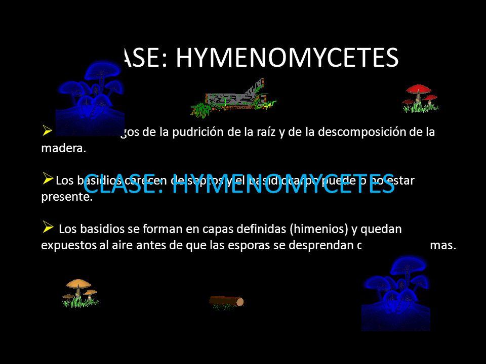 CLASE: HYMENOMYCETES CLASE: HYMENOMYCETES